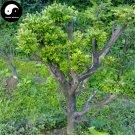 Buy Common Boxwood Tree Seeds 60pcs Plant Populus Simonii Tree For Buxus Sinica