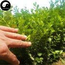 Buy Common Boxwood Tree Seeds 30pcs Plant Populus Simonii Tree For Buxus Sinica