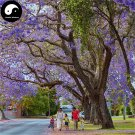 Buy Jacaranda Mimosifolia Tree Seeds 120pcs Plant Chinese Blue Flower Tree