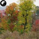 Buy Sapium Sebiferum Tree Seeds 120pcs Plant Stuppinu Tree For Chinese Wu Jiu