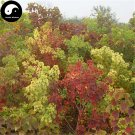 Buy Sapium Sebiferum Tree Seeds 60pcs Plant Stuppinu Tree For Chinese Wu Jiu