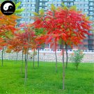 Buy Torch Tree Seeds 200pcs Plant Rhus Typhina Tree For Lacquer Tree Huo Ju Shu