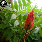 Buy Torch Tree Seeds 50pcs Plant Rhus Typhina Tree For Lacquer Tree Huo Ju Shu