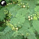 Buy Silver Acacia Tree Seeds 30pcs Plant Leucaena Tree For Chinese Yin He Huan