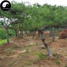 Buy Red Pine Tree Seeds 60pcs Plant Pinus Tabulaeformis Tree For Chinese Pine