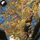 Buy Pistache Tree Seeds 100pcs Plant Pistacia Chinensis Tree For Pistache Tree