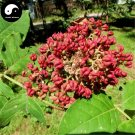 Buy Evodia Tree Seeds 200pcs Plant Evodia Daniellii Tree Chou Tan For Wu Zhu Yu