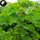 Buy Jatropha Carcas Tree Seeds 30pcs Plant Purging Nut Tree For Ma Feng Shu