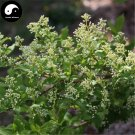 Buy Symplocos Paniculata Tree Seeds 160pcs Plant Sapphireberry Sweetleaf Tree