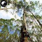 Buy Eucalyptus Tree Seeds 200pcs Plant Eucalyptus Robusta Smith Chinese An Shu