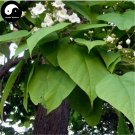 Buy Ovate Catalpa Tree Seeds 60pcs Plant China Catalpa Tree For Chinese Zi Shu