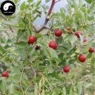 Buy Choerospondias Axillaris Tree Seeds 40pcs Plant Chinese Nan Suan Zao Tree
