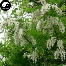 Buy False Acacia Tree Seeds 200pcs Plant Robinia Pseudoacacia For Black Locust