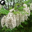 Buy False Acacia Tree Seeds 100pcs Plant Robinia Pseudoacacia For Black Locust