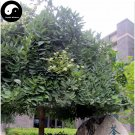 Buy Sophora Japonica Tree Seeds 240pcs Plant Sophora Japonica Chinese Guo Huai