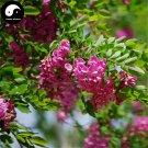 Buy Sophora Tonkinensi Tree Seeds 60pcs Plant Sophora Tonkinensi Guo Huai Shu