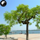Buy Dragon Claws Sophora Tree Seeds 240pcs Plant Sophora Tree Chinese Guo Huai