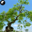 Buy Dragon Claws Sophora Tree Seeds 120pcs Plant Sophora Tree Chinese Guo Huai