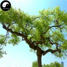 Buy Dragon Claws Sophora Tree Seeds 60pcs Plant Sophora Tree Chinese Guo Huai