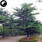 Buy Cedrus Deodara Tree Seeds 200pcs Plant Himalayan Cedar Tree Chinese Xue Song