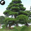 Buy Black Pine Tree Seeds 200pcs Plant Pinus Thunbergii Tree Chinese Hei Song