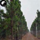Buy Pinus Elliottii Tree Seeds 200pcs Plant Pinaster Tree China Pine Shi Di Song