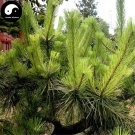 Buy Pinus Massoniana Tree Seeds 100pcs Plant Mason Pine China Pinaster Tree