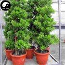 Buy Pseudolarix Amabilis Tree Seeds 120pcs Plant Pine Bonsai China Jin Qian Song