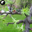 Buy Pseudolarix Amabilis Tree Seeds 60pcs Plant Pine Bonsai China Jin Qian Song