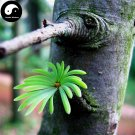 Buy Pseudolarix Amabilis Tree Seeds 30pcs Plant Pine Bonsai China Jin Qian Song
