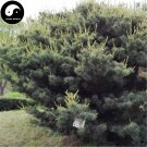 Buy Pinus Parviflora Tree Seeds 240pcs Plant Pine Tree For China Wu Zhen Song