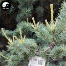 Buy Pinus Parviflora Tree Seeds 120pcs Plant Pine Tree For China Wu Zhen Song