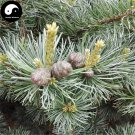 Buy Pinus Parviflora Tree Seeds 60pcs Plant Pine Tree For China Wu Zhen Song