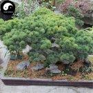 Buy Pinus Parviflora Aurea Tree Seeds 240pcs Plant Pinus Parviflora Da Ban Song