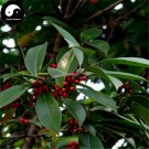 Buy Ilex Rotunda Tree Seeds 120pcs Plant Kurogane Holly Chinese Tie Dong Qing