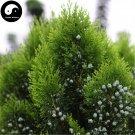 Buy Platycladus Orientalis Tree Seeds 120pcs Plant Arborvitae Chinese Ce Bai