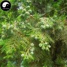 Buy Platycladus Orientalis Tree Seeds 60pcs Plant Arborvitae Chinese Ce Bai
