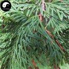 Buy Sabina Pingii Tree Seeds 60pcs Plant Arborvitae Chinese Xiang Bai Shu