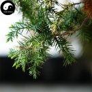 Buy Juniperus Formosana Tree Seeds 60pcs Plant Arborvitae Chinese Ci Bai Shu