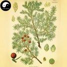 Buy Juniperus Formosana Tree Seeds 120pcs Plant Arborvitae Chinese Ci Bai Shu