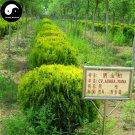 Buy Sabina Chinensis Tree Seeds 240pcs Plant Arborvitae For Chinese Sa Jin Bai