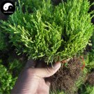 Buy Sabina Chinensis Tree Seeds 60pcs Plant Arborvitae For Chinese Sa Jin Bai