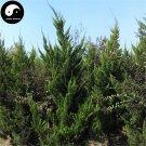 Buy Juniperus Chinensis Tree Seeds 60pcs Plant Chinese Dragon Arborvitae Tree