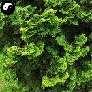 Buy Chamaecyparis Obtusa Breviramea Tree Seeds 240pcs Plant Yun Pian Arborvitae