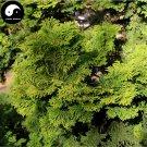 Buy Chamaecyparis Obtusa Breviramea Tree Seeds 120pcs Plant Yun Pian Arborvitae