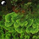 Buy Chamaecyparis Obtusa Breviramea Tree Seeds 60pcs Plant Yun Pian Arborvitae