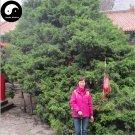 Buy Phoenix Tail Cypress Tree Seeds 120pcs Plant Chamaecyparis Obtusa Filicoides