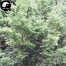Buy Rong Cypress Tree Seeds 240pcs Plant Chamaecyparis Pisifera Squarrosa