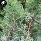 Buy Rong Cypress Tree Seeds 60pcs Plant Chamaecyparis Pisifera Squarrosa