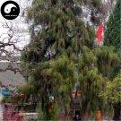 Buy Line Cypress Tree Seeds 240pcs Plant Chamaecyparis Pisifera Filifera